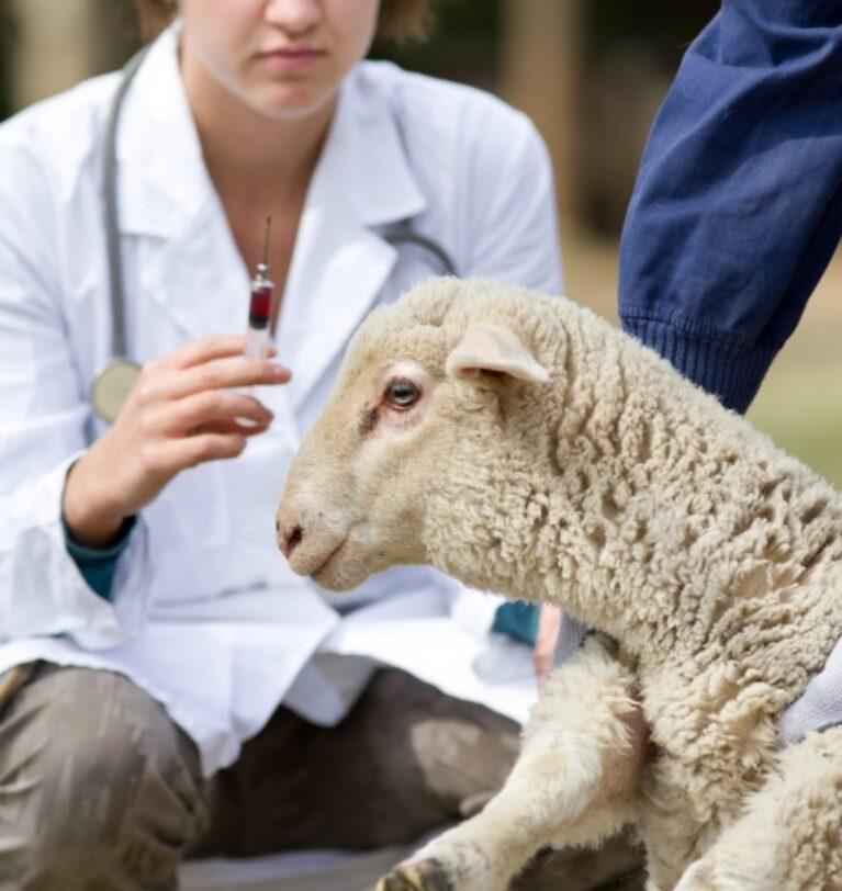 Koyun Aşılama Programı