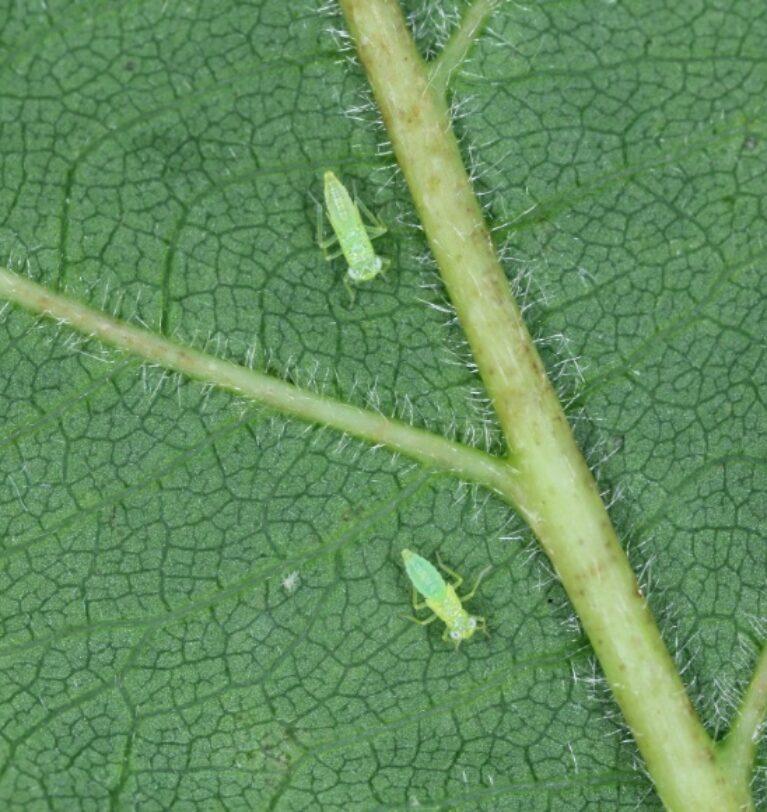 Bağ Yaprak Pireleri