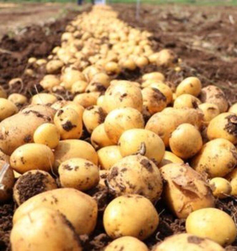 TMO'nun patates ve soğan alımlarında miktar sınırlaması olmayacak