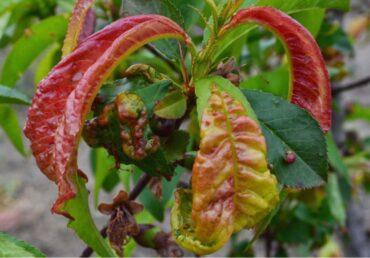 Yaprak Kıvırcıklığı Hastalığı Nedir ?