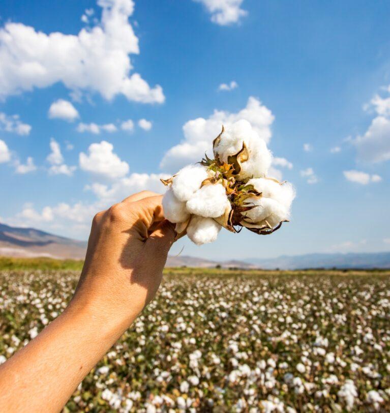 Pamuk Yetiştiriciliği Nedir? Nasıl Yapılır? – Pamuk Hakkında Temel Bilgiler