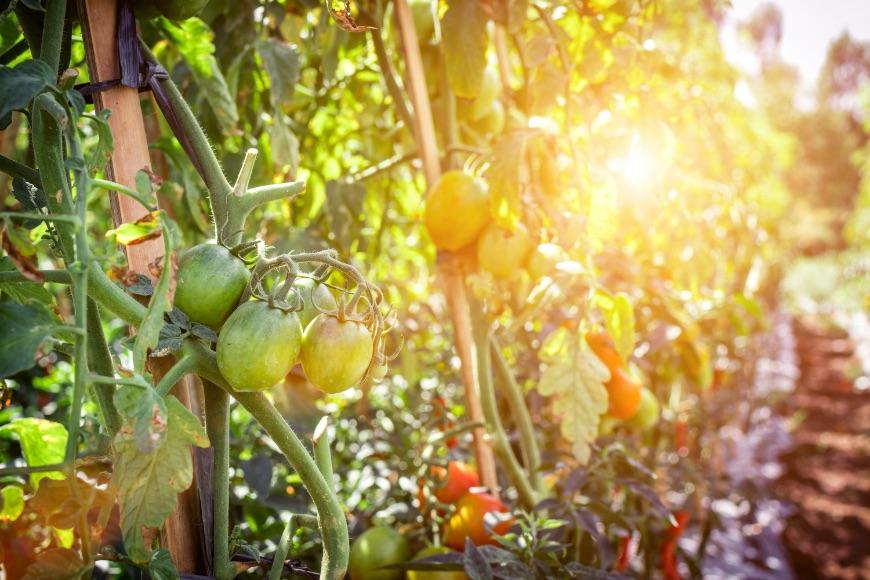 Sırıkta domates