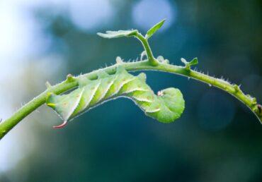 Domates Yetiştiriciliği-5 Hastalık ve Zararlı Mücadelesi