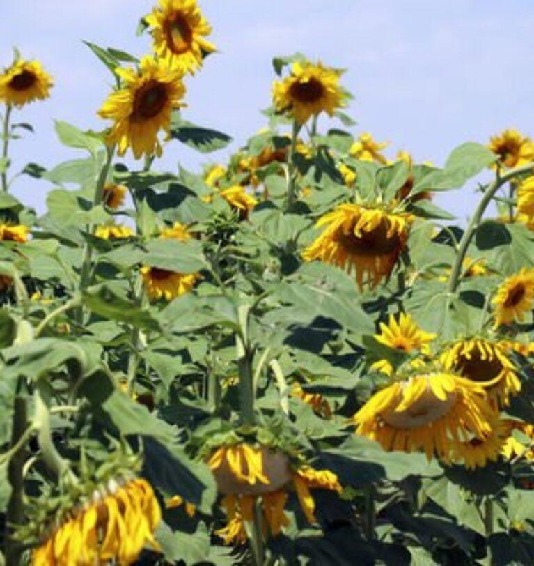 Ayçiçek tohumu ve ham yağda gümrük vergisi sıfırlandı